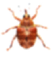 Coeliodes transversealbofasciatus 1.jpg