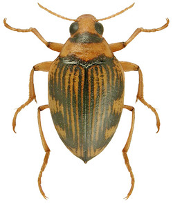 H. (Haliplidius) varius