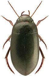 Agabus striolatus.jpg