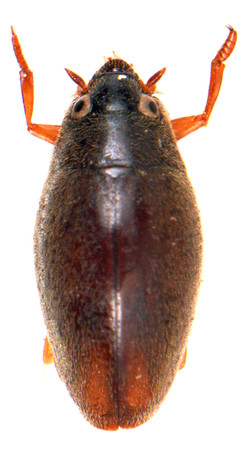 Orectochilus villosus 1