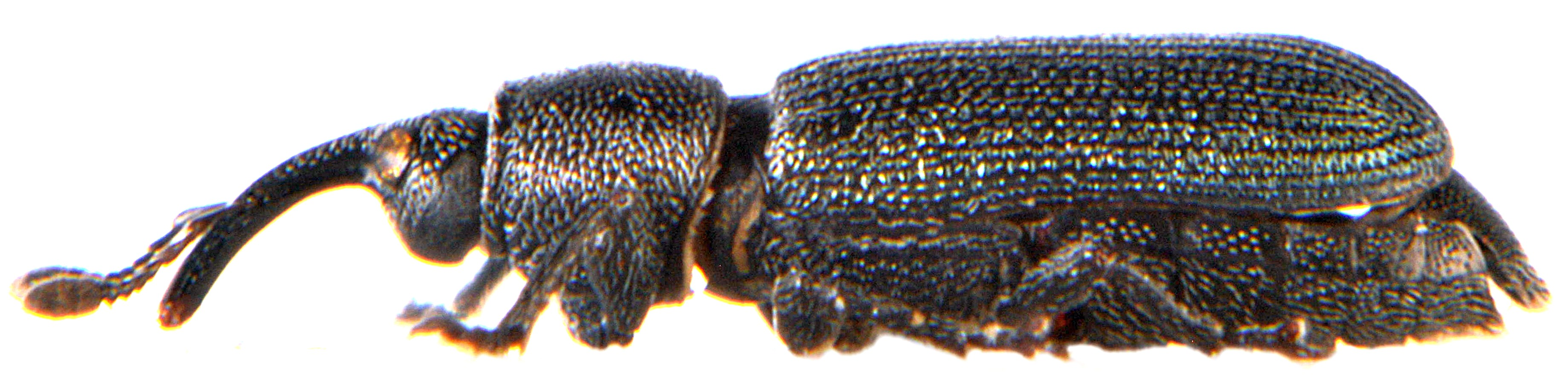 Mecinus janthinus 2