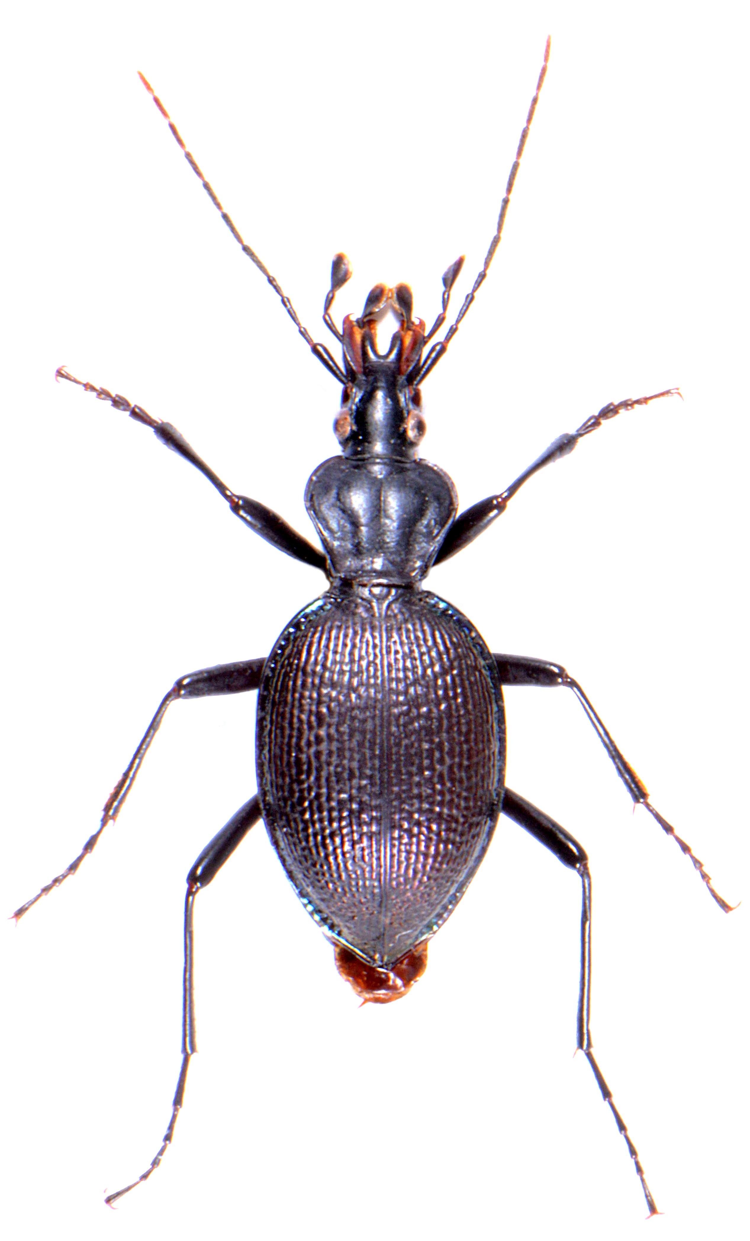 Scaphinotus marginatus