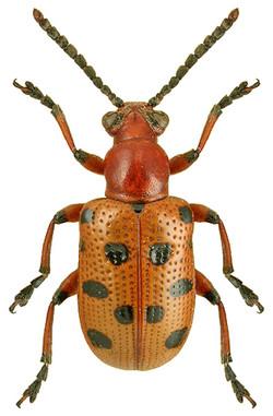 Crioceris duodecimpunctata