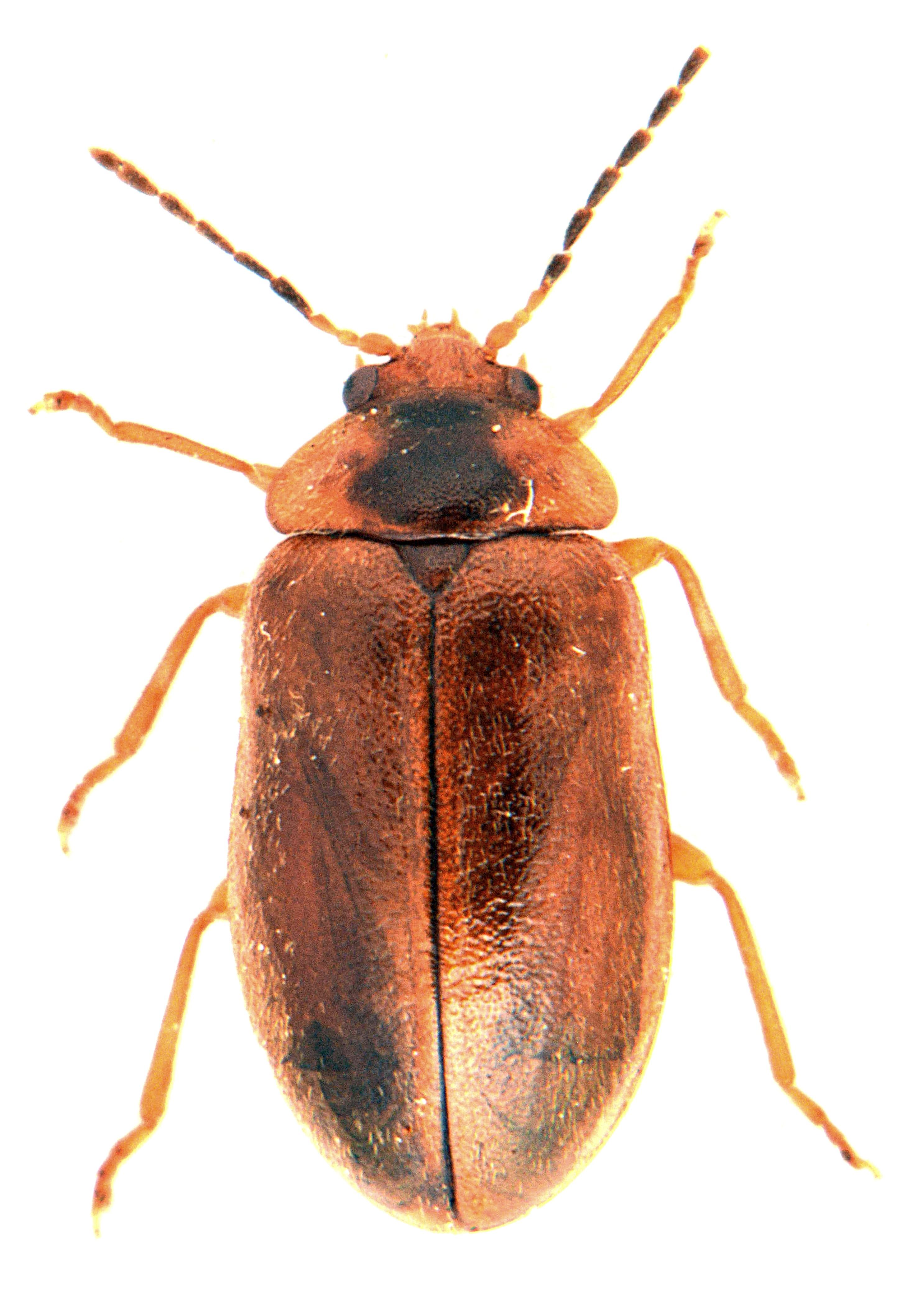 Microcara testacea 1