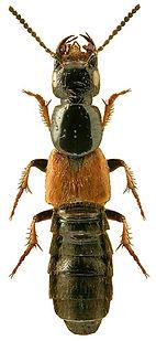 Philonthus spinipes.jpg