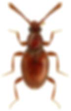 Neuraphes carinatus.jpg