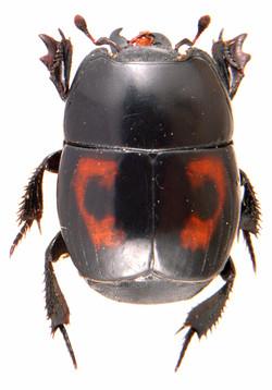 Hister quadrimaculatus