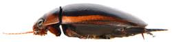 Hydaticus seminiger 3
