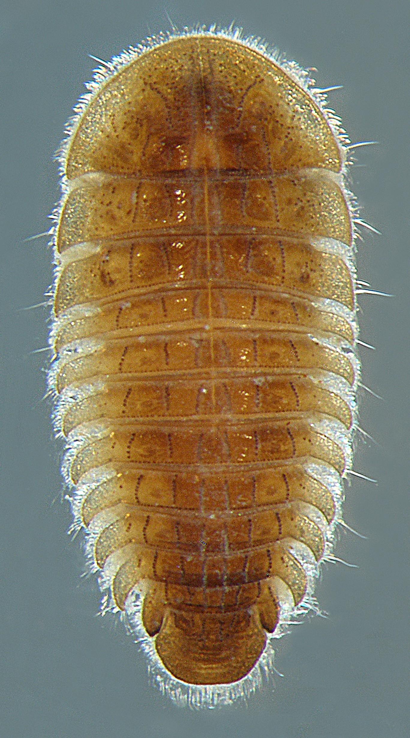 Eubria palustris larva