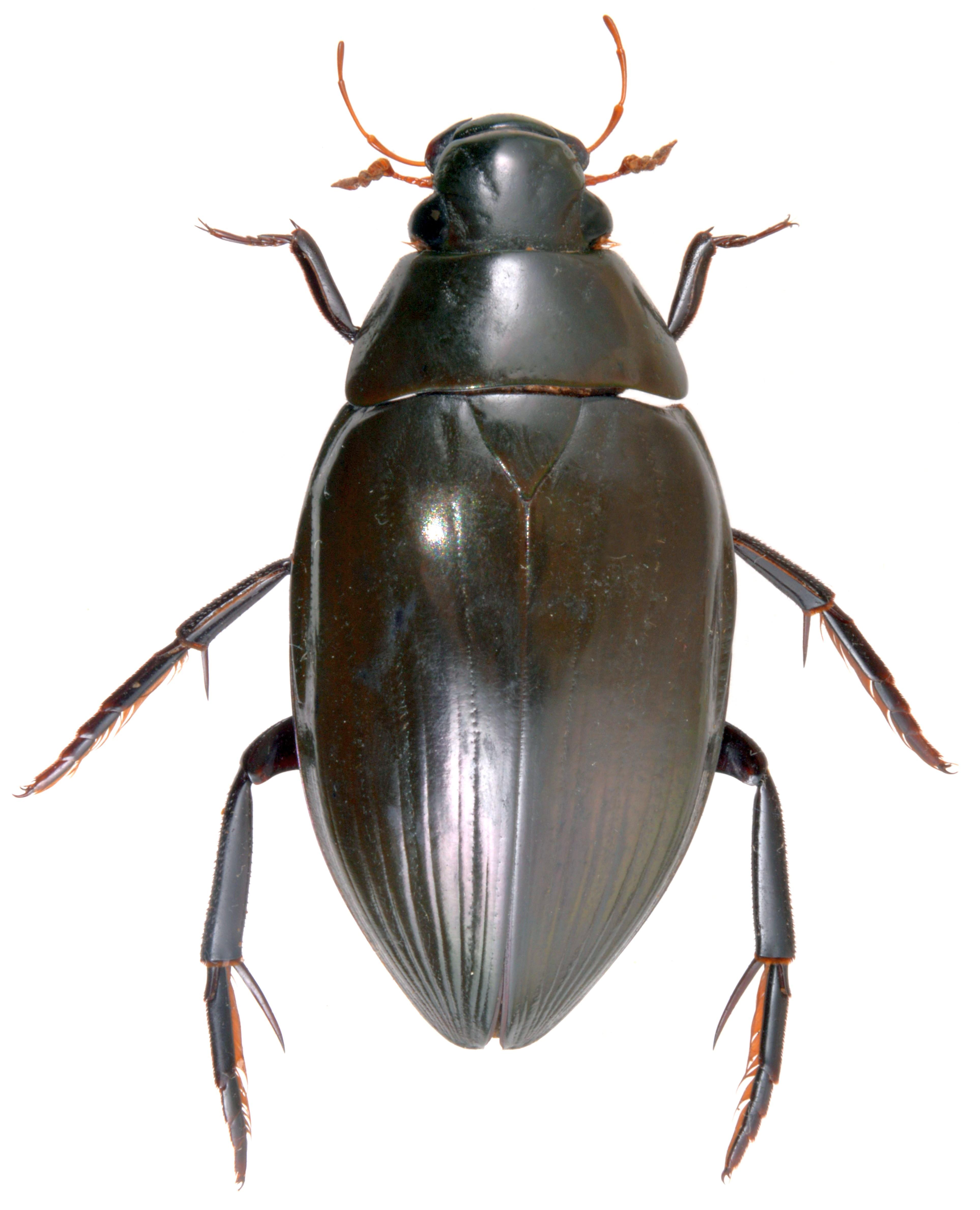 Hydrophilus piceus ♀