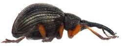 Protapion trifolii 6