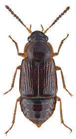 Phyllodrepoidea crenata.jpg