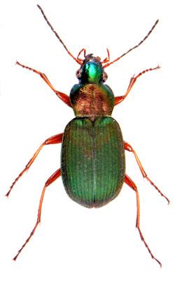Chlaenius nitidulus 2