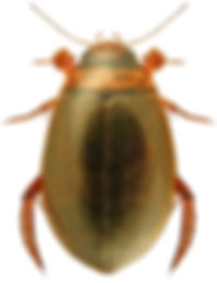 Graphoderus bilineatus.jpg