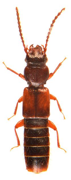 Siagonium quadricorne 2