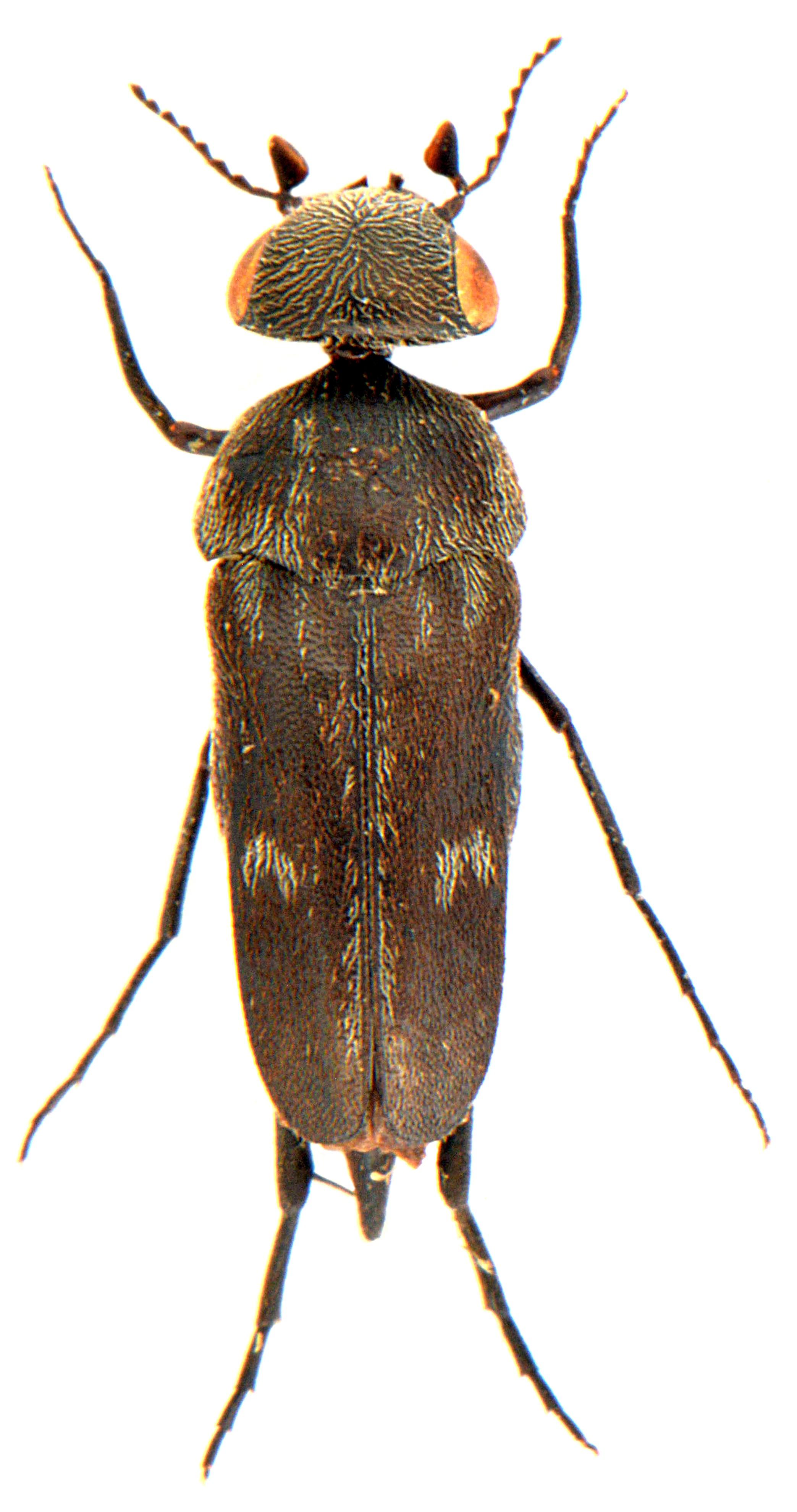 Tomoxia bucephala 1