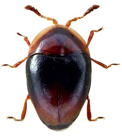 Corylophus cassidoides