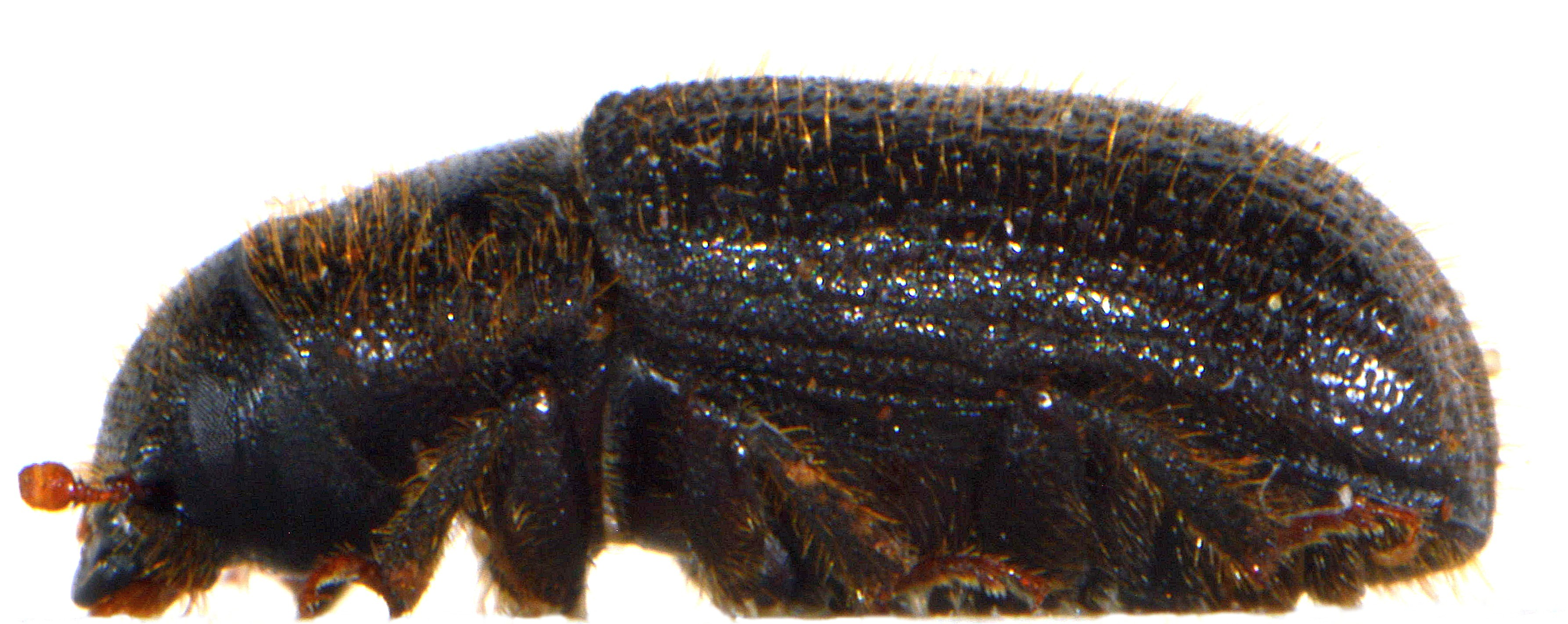 Dendroctonus micans 2