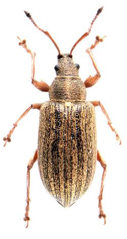 Phyllobius pyri ♀