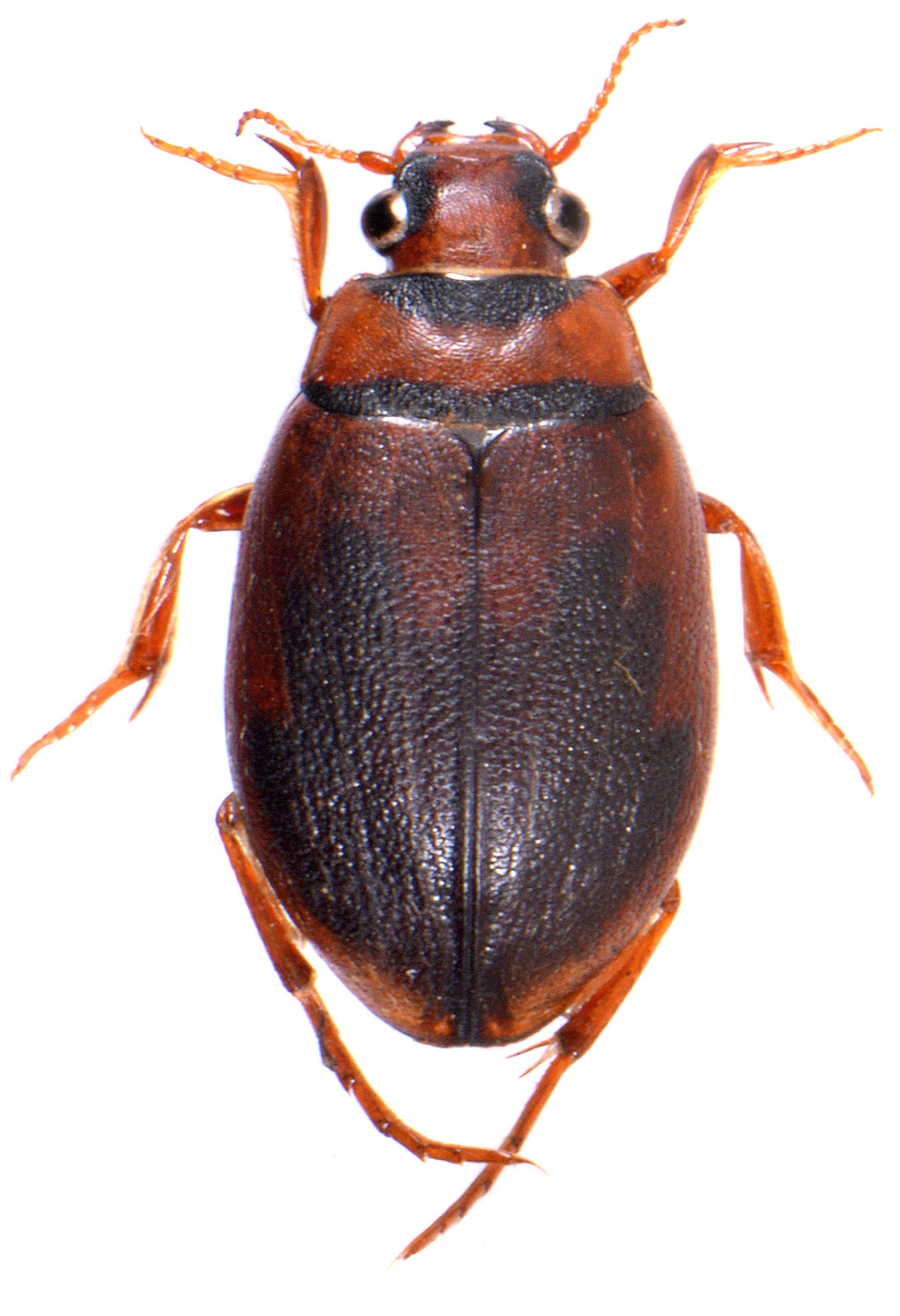 Hygrobia hermanni ♀