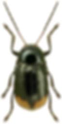 Cryptocephalus biguttatus.jpg
