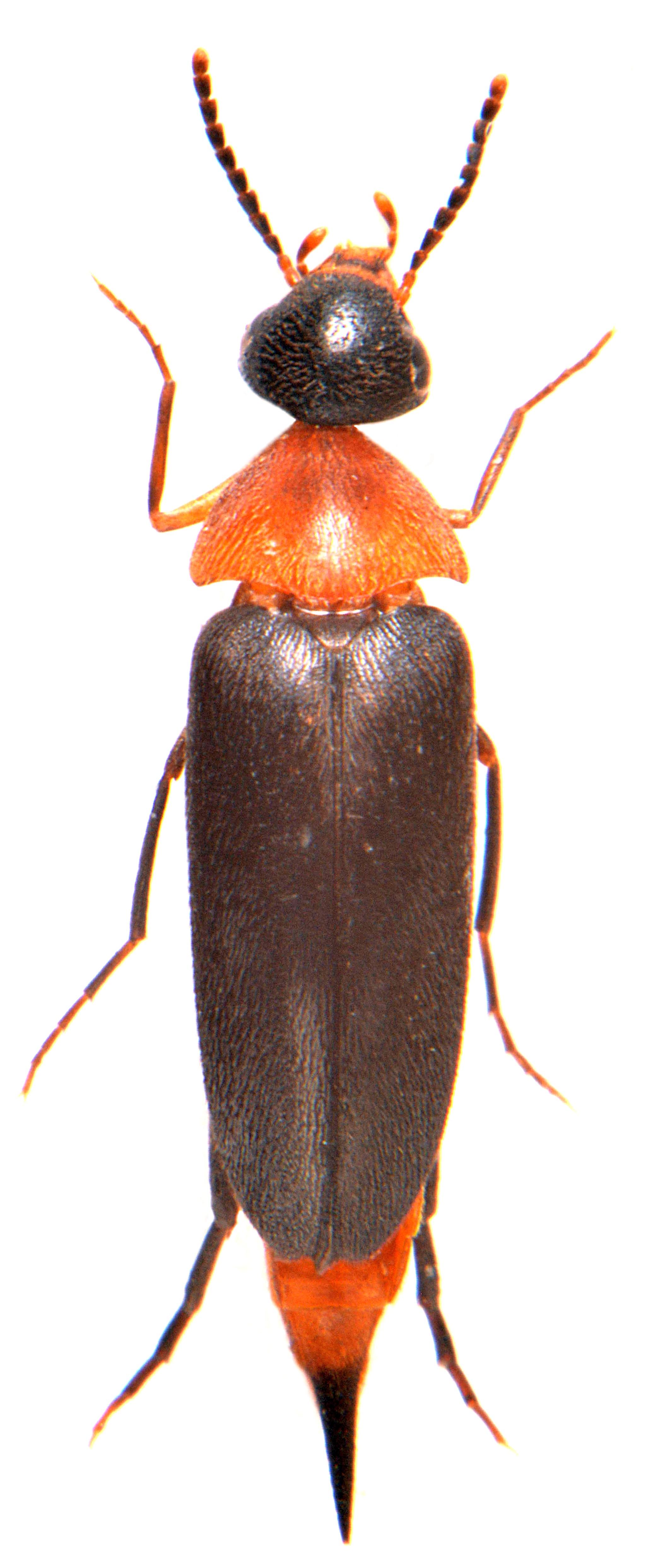 Mordellochroa abdominalis 3