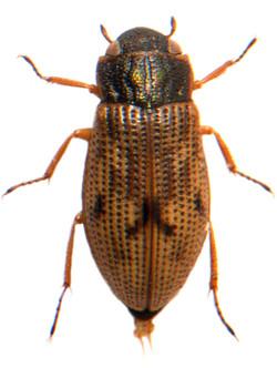 Helophorus brevipalpis 1