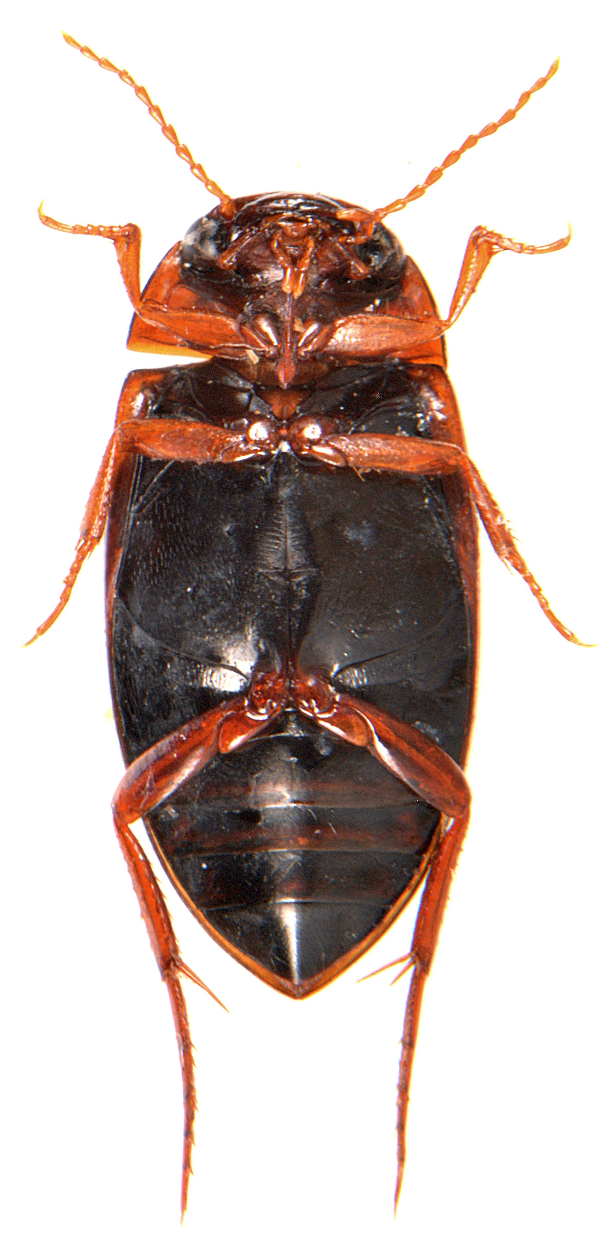 Liopterus haemorrhoidalis underside