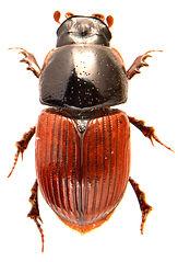 Rhopaphodius foetens 1.jpg
