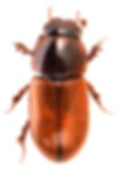 Bodiloides ictericus 1.jpg
