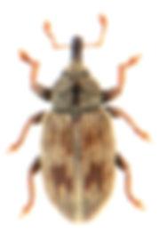 Ellescus bipunctatus.jpg