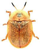 Cassida flaveola 3.jpg