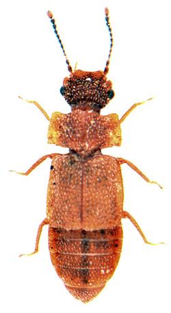 Metopsia clypeata