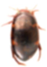 Agabus undulatus 1.jpg