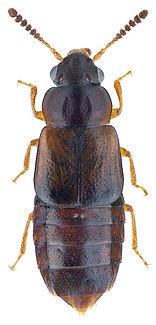 Paraphloeostiba gayndahensis.jpg