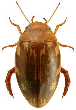 Laccophilus hyalinus 2