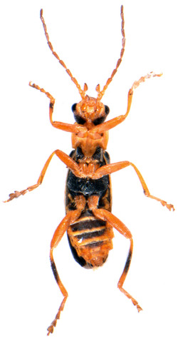 Cantharis lateralis 3