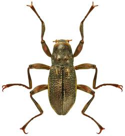 Macronychus quadrituberculatus