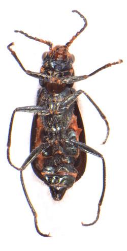 Cordylepherus viridis 3