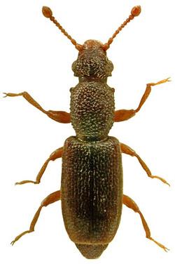 Monotoma longicollis 1