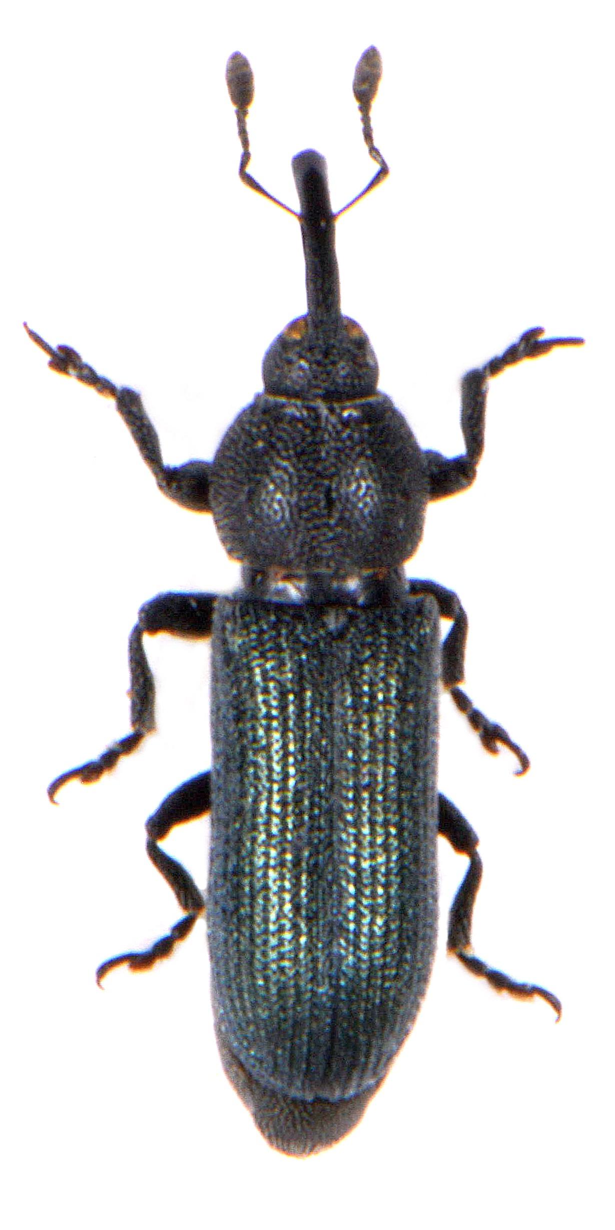 Mecinus janthinus 1