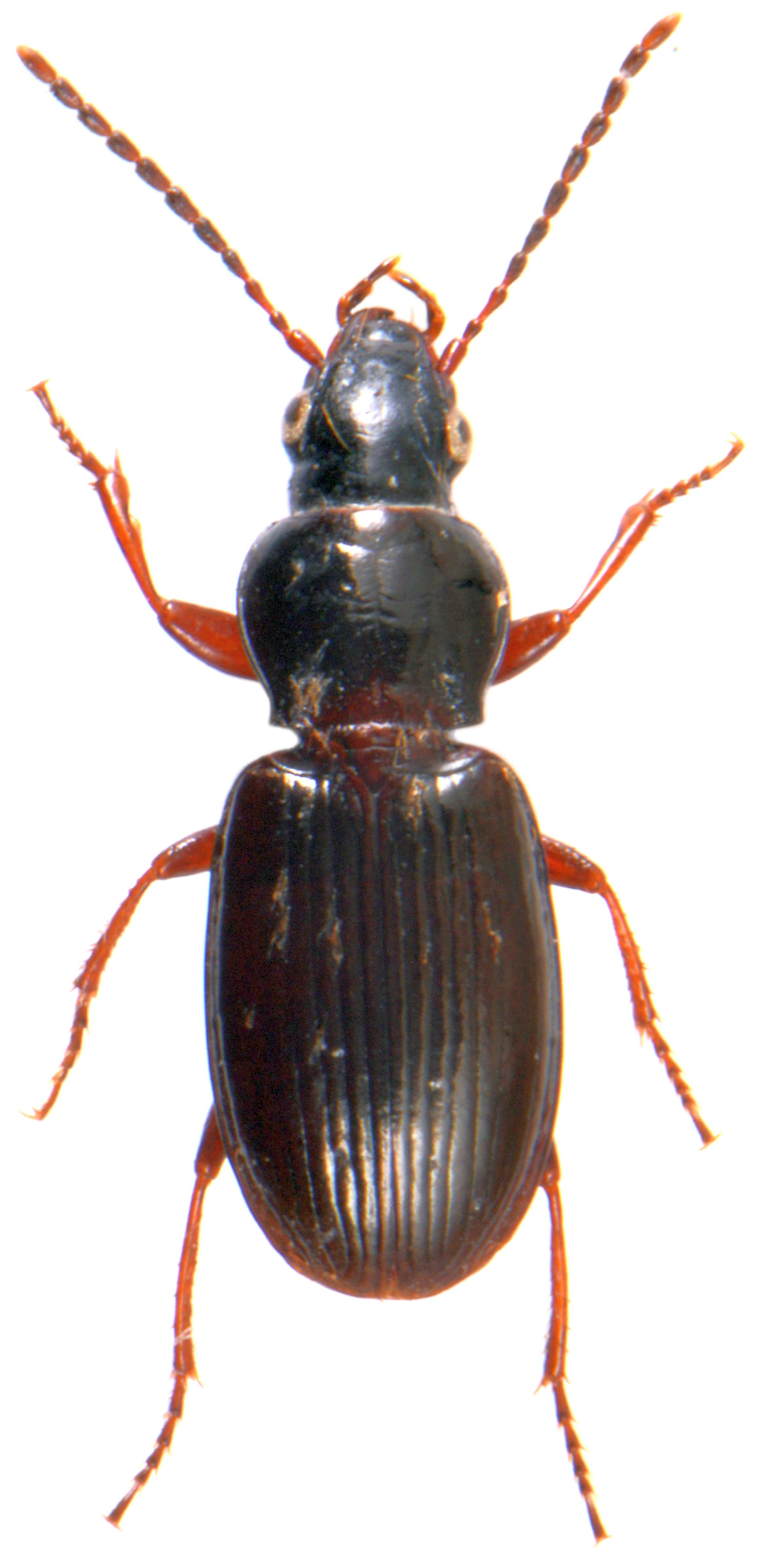 Pterostichus strenuus 1