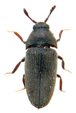 Aulonothroscus brevicollis 1