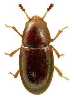Octotemnus glabriculus
