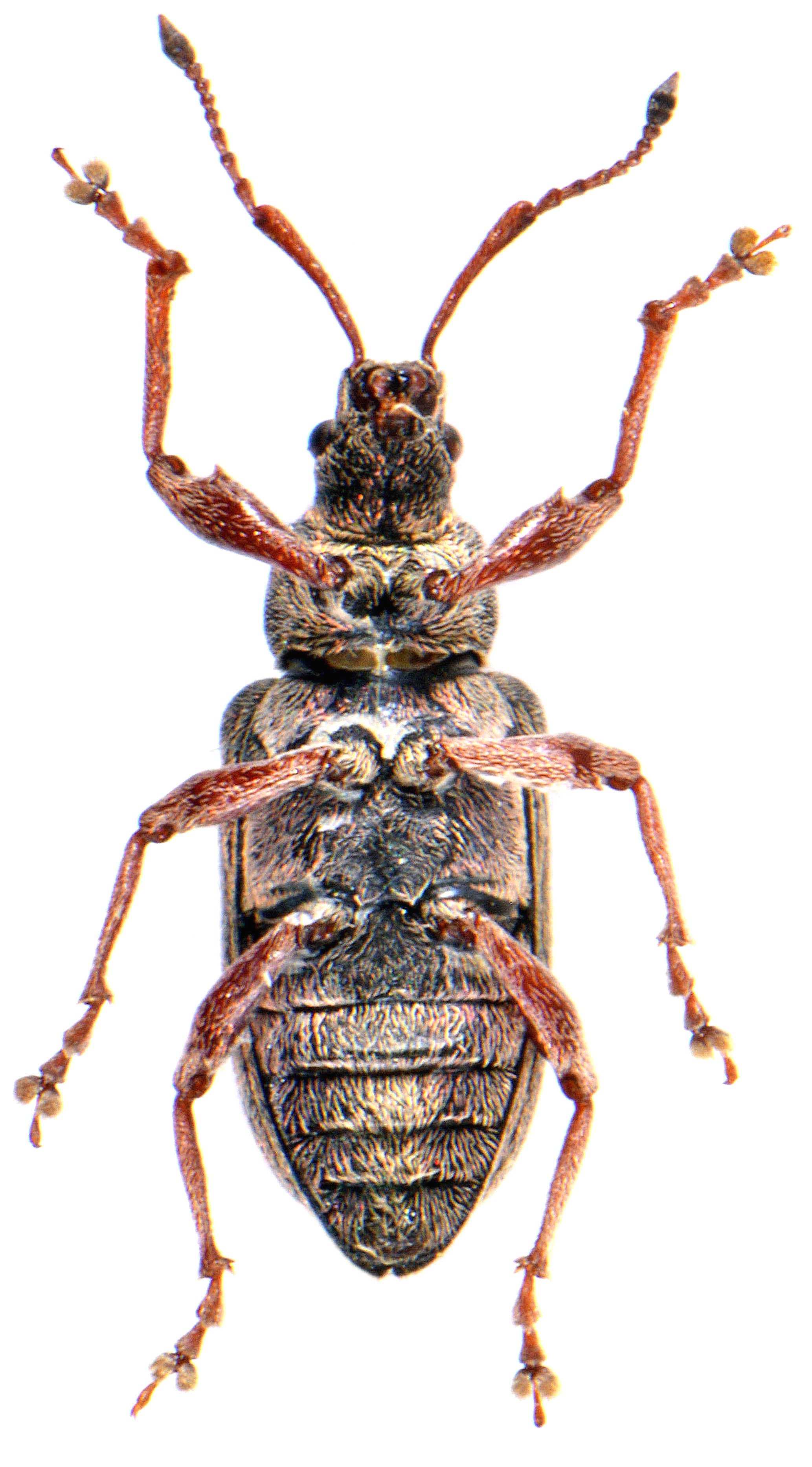Phyllobius pyri