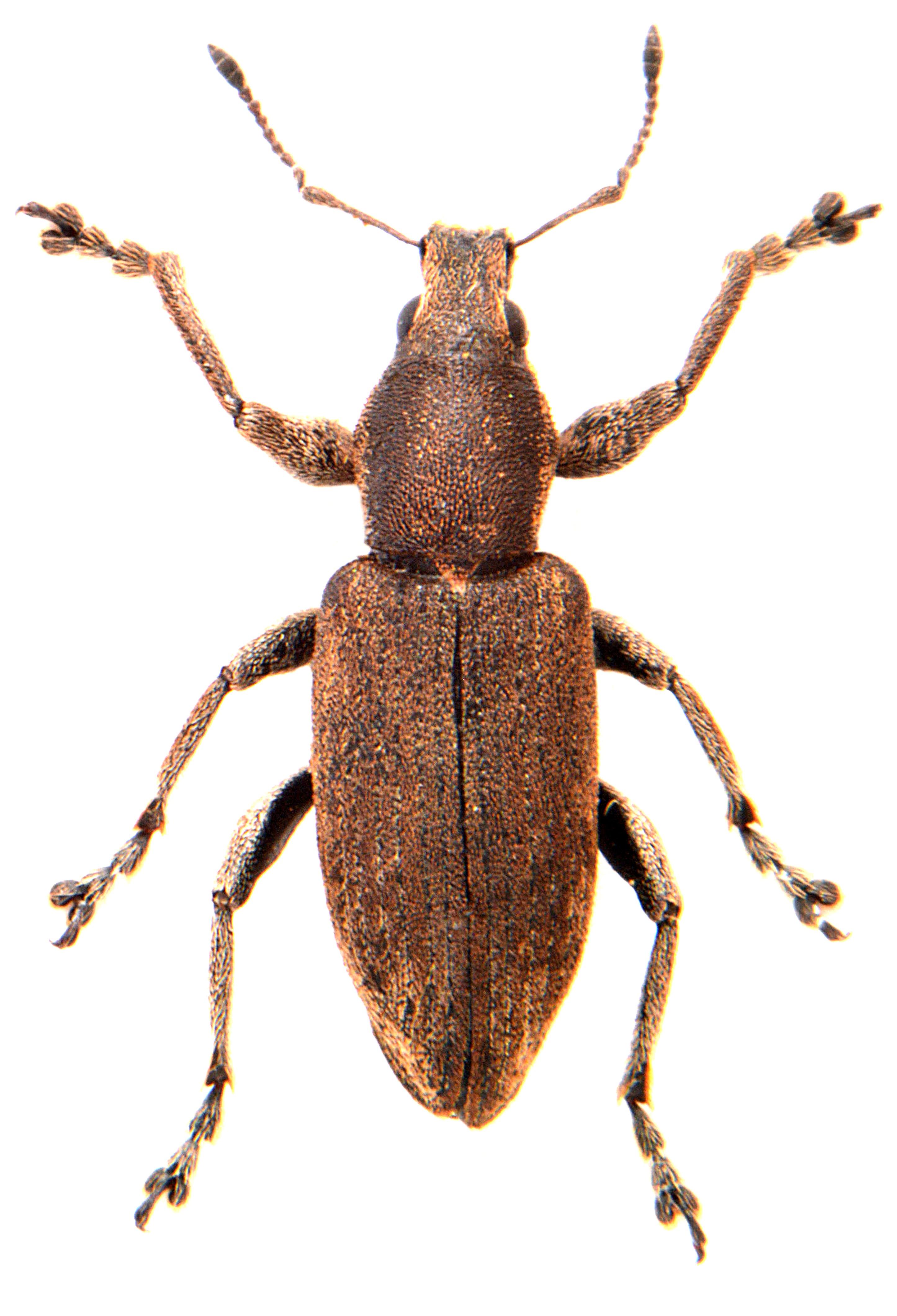 Tanymecus palliatus 1