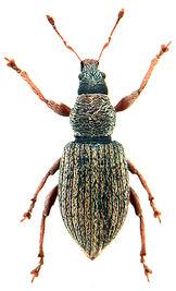 Polydrusus marginatus.jpg