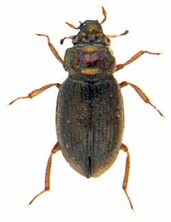 Ochthebius viridis 1
