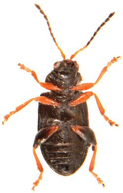 Crepidodera plutus 3