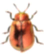 Plagiosterna aenea 1.jpg